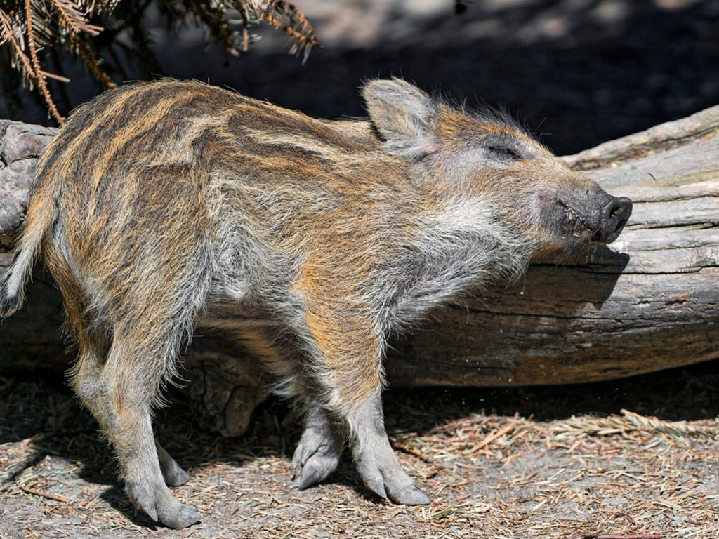 名副其實的港豬