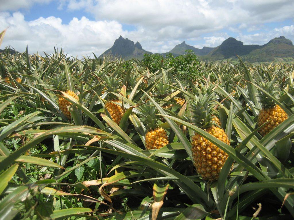 pineapple-field